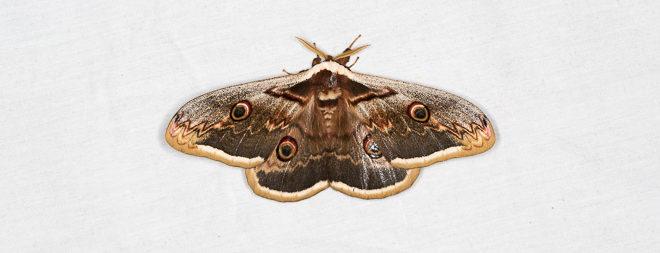 Grand paon de nuit (Saturnia pyri) - Plus grand papillon d'Europe