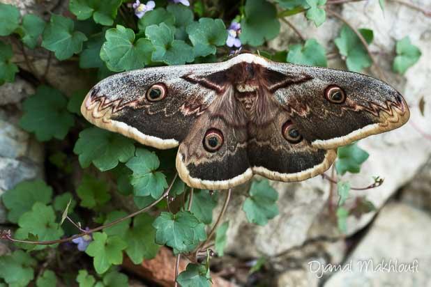 Grand paon de nuit (Saturnia pyri) - Plus grand papillon de France