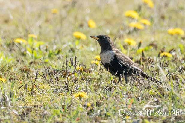Merle à plastron - Quels oiseaux voir en mars ?