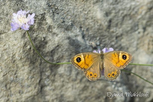 Papillon Ariane (Lasiommata maera) femelle du Némusien