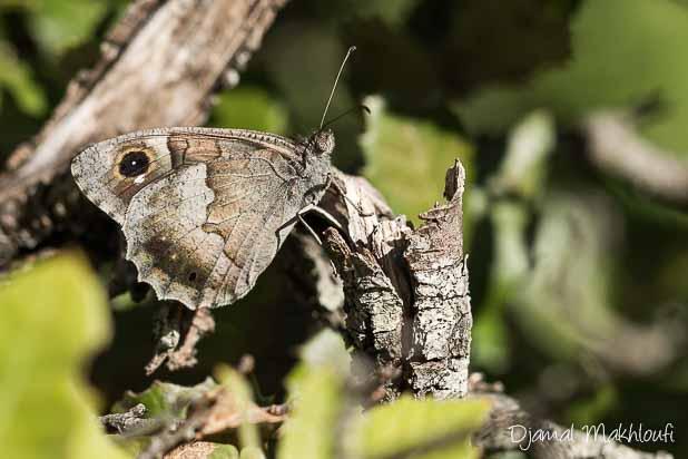 Faune (Hipparchia statilinus) papillon de Seine et Marne