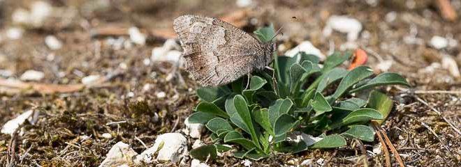 Faune (Hipparchia statilinus) papillon de la forêt de Fontainebleau