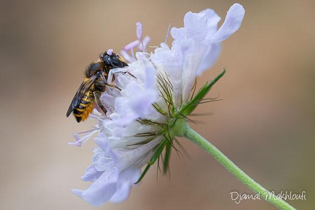 Mégachile du rosier (Megachile centuncularis)