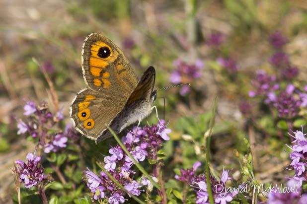 Némusien (Lasiommata maera) - papillon mâle
