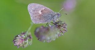 Procris (Coenonympha pamphilus) - Fadet commun papillon d'Ile de France