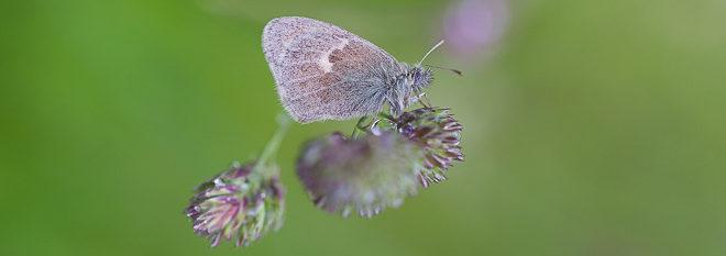 Papillon Procris (Coenonympha pamphilus) - Fadet commun lépidoptère d'Ile de France