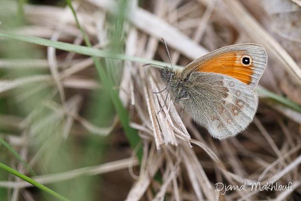 Procris papillon marron des prairies