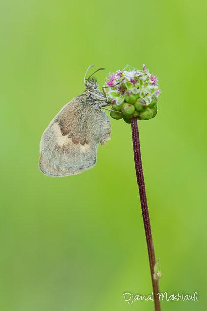 Fadet commun femelle - Papillon Procris d'Ile de France