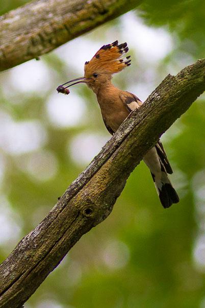 Huppe fasciée - eBook des oiseaux des bois (forêt de Fontainebleau)