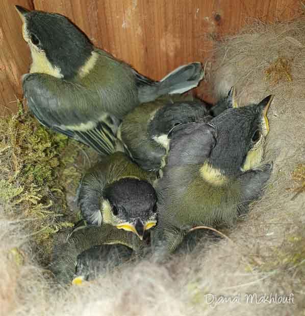 Nichée de mésanges charbonnières - Oiseaux du jardin