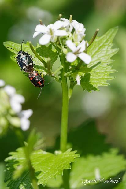 Punaise du chou (Eurydema oleracea) - Insecte du jardin sur Alliaire officinale