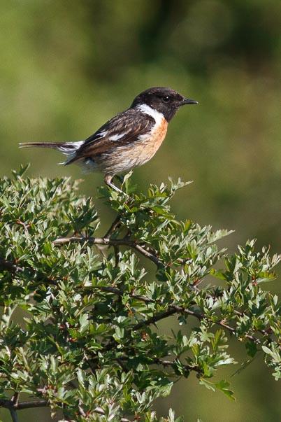Tarier pâtre - eBook oiseaux des plaines (forêt de Fontainebleau)