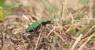 Cincindèle champêtre (Cicindela campestris) - Coléoptère de la forêt de Fontainebleau