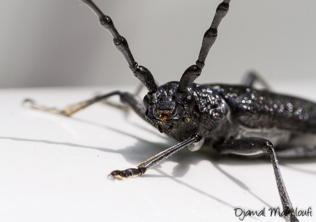 Petit Capricorne (Cerambyx scopolii) - Longicorne noir