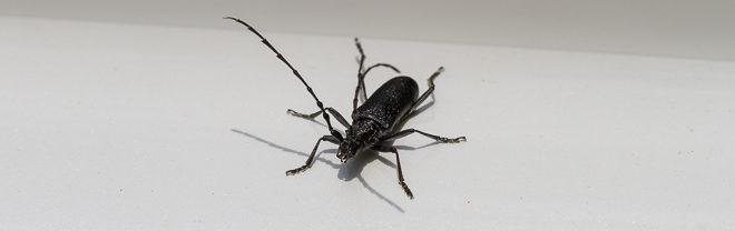 Petit Capricorne (Cerambyx scopolii) - Scarabée noir