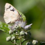 Demi-deuil (Melanargia galathea) sur une fleur de ronce