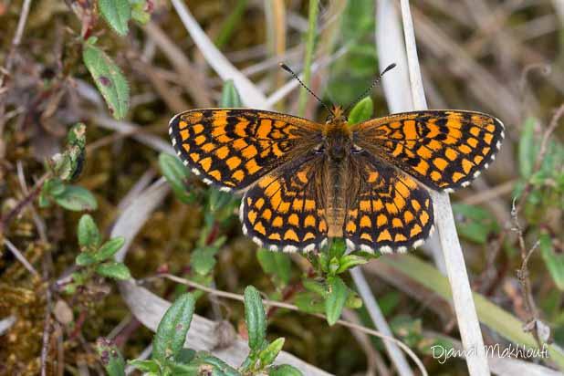 Mélitée du mélampyre (Melitaea athalia) - Dessus des ailes