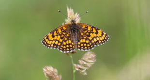 Mélitée du mélampyre (Melitaea athalia) - Papillon de jour de Fontainebleau