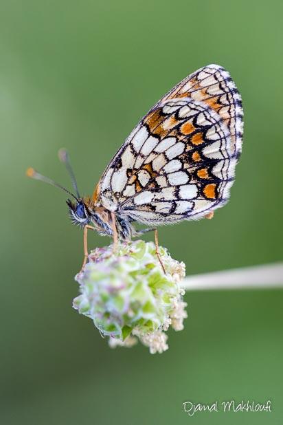Mélitée du mélampyre (Melitaea athalia) - Dessous/revers des ailes