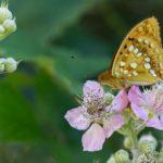 Moyen Nacré (Fabriciana adippe) sur une fleur de ronce - Papillon des ronciers