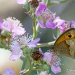 Myrtil (Maniola jurtina) sur une fleur de ronce - Papillon des ronciers