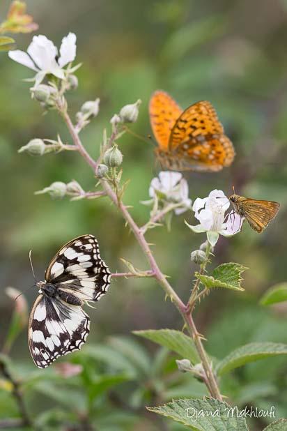 Papillons des ronciers - Insectes sur fleurs de ronce