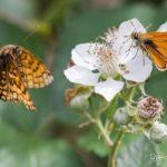 papillons des ronciers