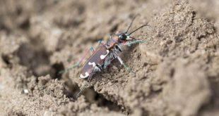 Cicindèle hybride (Cicindela hybrida) sur sol sableux