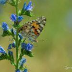 Belle Dame (Vanessa cardui) papillon de la vipérine