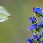 Citron (Gonepteryx rhamni) papillon de la vipérine