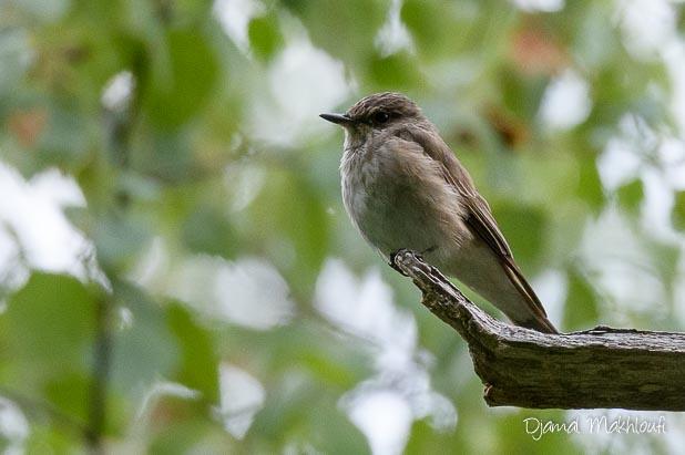 Gobemouche gris (Muscicapa striata) - Passereau migrateur