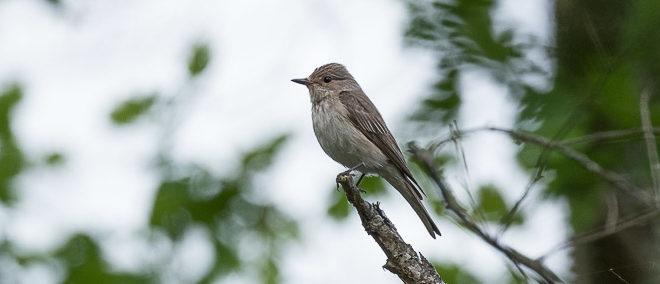 Gobemouche gris (Muscicapa striata) - Oiseau insectivore