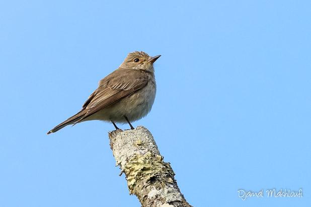 Gobemouche gris (Muscicapa striata) - Oiseau migrateur