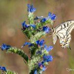 Machaon (Papilio machaon) papillon de la vipérine