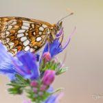 Mélitée du mélampyre (Melitaea athalia) papillon de la vipérine