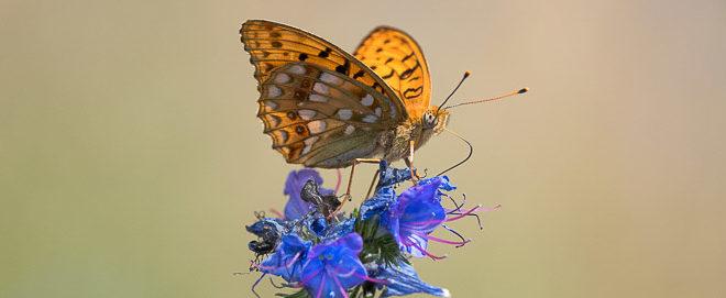 Moyen nacré - papillon des vipérines