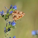 Petite violette (Boloria dia) papillon de la vipérine