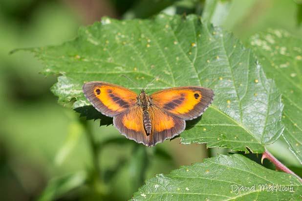 Papillon Amaryllis mâle (Pyronia tithonus) - Satyrinae marron