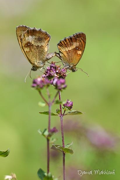 Accouplement papillons Amaryllis (Pyronia tithonus) - mâle et femelle