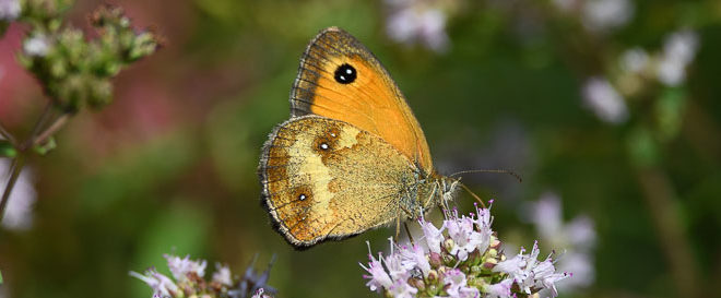 Accouplement papillons Amaryllis (Pyronia tithonus) - Papillons marron