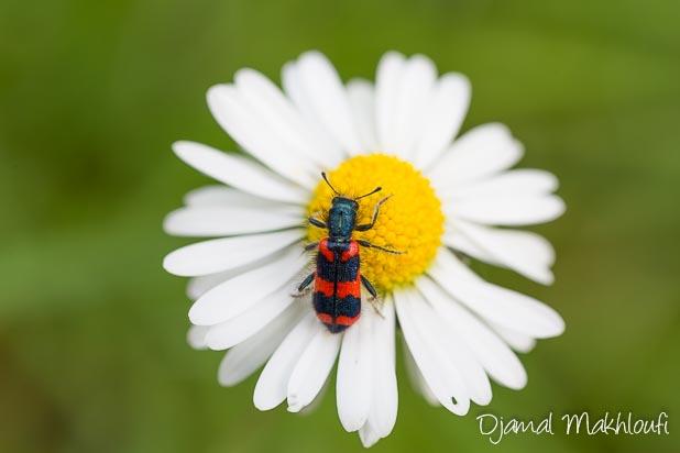 Clairon des ruches (Trichodes alvearius)