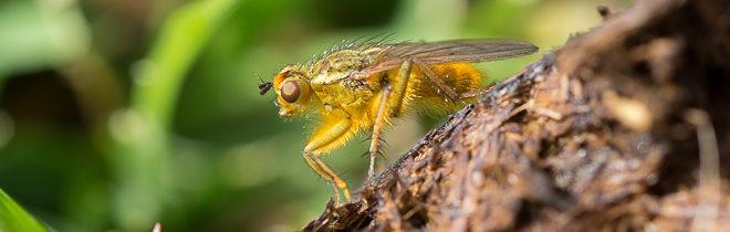 prédation de la mouche stercoraire (Scathophaga stercoraria) - Scatophage du fumier