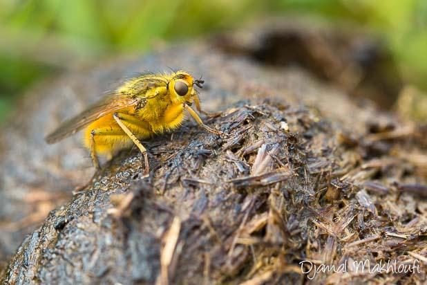 Mouche stercoraire (Scathophaga stercoraria) - Scatophage du fumier