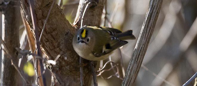 Roitelet huppé (Regulus regulus) - Oiseau de la forêt de Fontainebleau