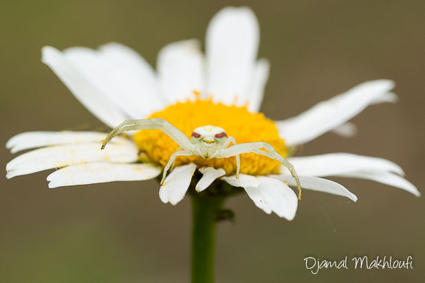Araignée crabe (Misumena vatia) - Thomise variable
