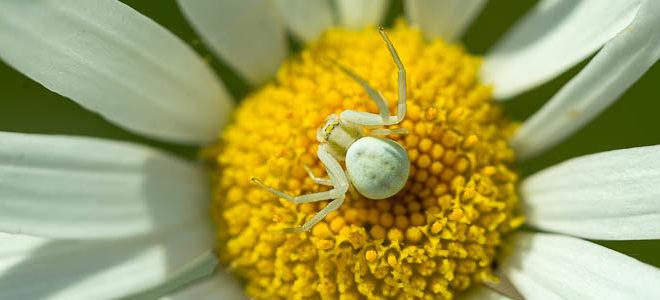 Araignée crabe (Misumena vatia) sur une marguerite - Thomise variable
