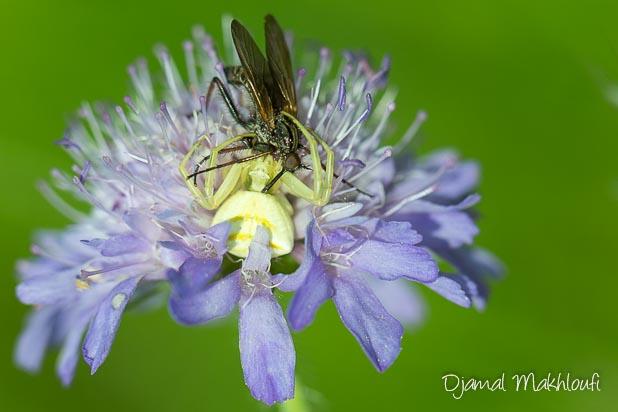 Araignée crabe blanche (Misumena vatia) sur une marguerite - Thomise variable