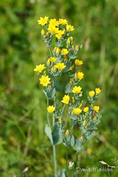 Chlore perfoliée (Blackstonia perfolia) - Fleur jaune sauvage de la forêt de Fontainebleau
