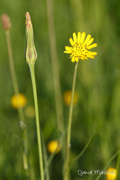 Salsifis des prés (Tragopogon pratensis) - fleur sauvage jaune