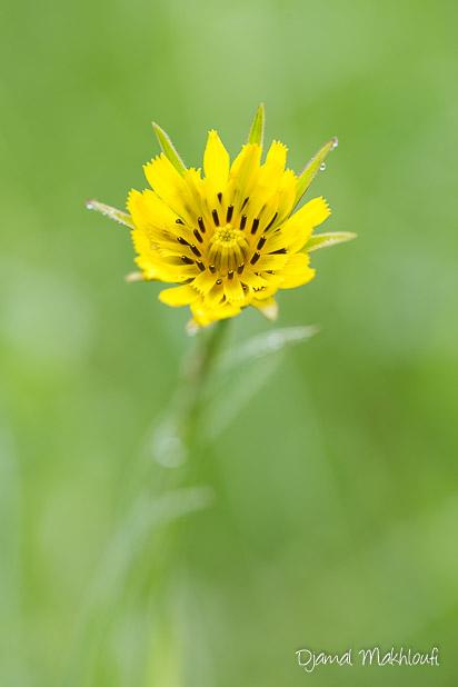 Salsifis des prés (Tragopogon pratensis) - fleur jaune sauvage